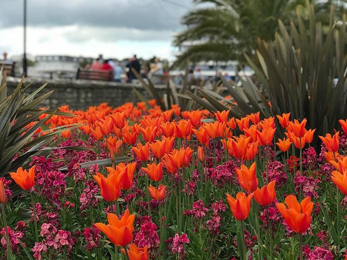 Spring tulips in Torquay