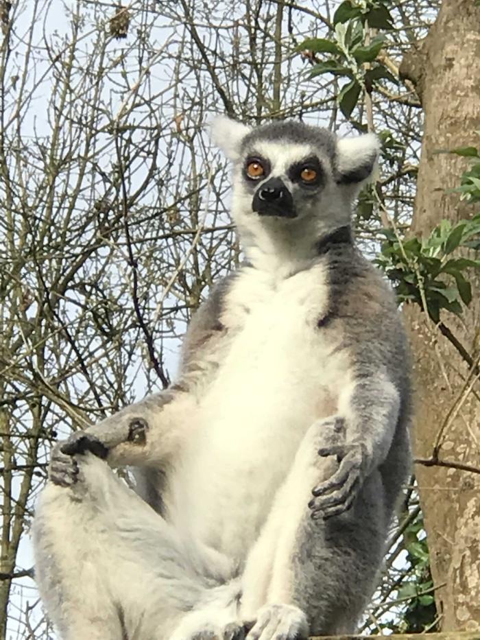Lemurs at Paignton Zoo
