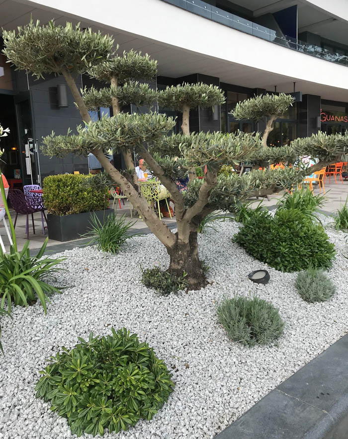 Abbey Sands Torquay - ornamental olive trees. Photo by The Somerville.