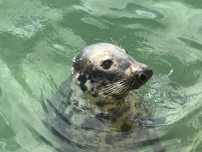 A seal in the water, Torbay